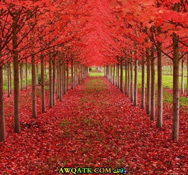 أشجار خشب القيقب في ولاية أوريجون الأمريكية تصنع طرق في قمة الجمال و الروعة