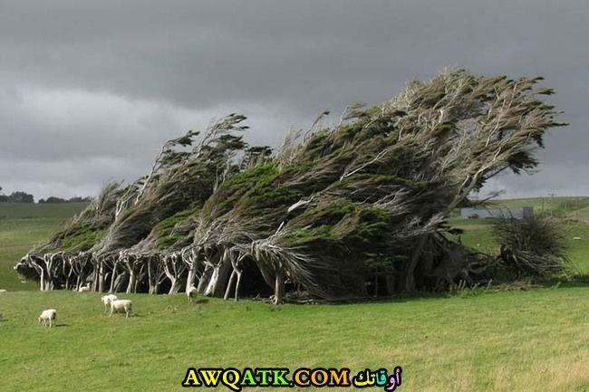 أشجار في نيوزيلاند تغير شكلها تماما بفعل الرياح و استقر بها الحال على هذا الشكل الغريب