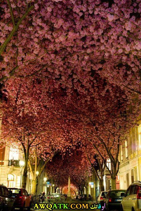 زهور شجر الكرز في مدينة بون في ألمانيا