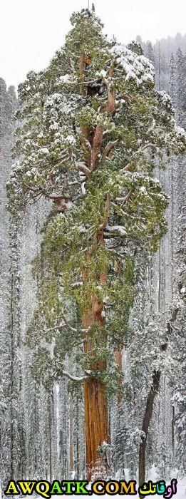 شجرة الرئيس أحدى أكبر الأشجار في العالم وتوجد بولاية كاليفورنيا الأمريكية