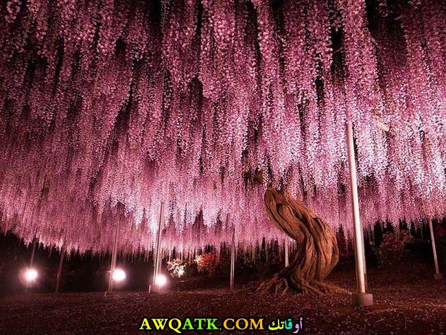 صورة أخرة لشجرة الوستاريا اليابانية