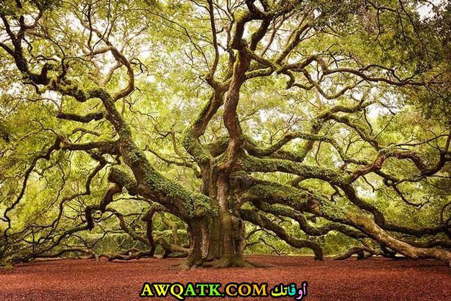 شجرة بلوط عملاقة في ساوث كارولينا