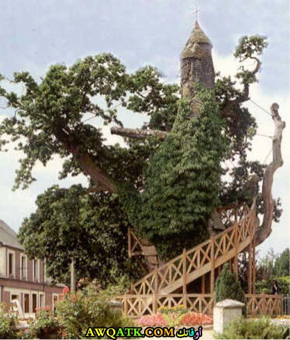شجرة نمت بشكل غريب جدا وأحاطت بكنيسة صغير في فرنسا