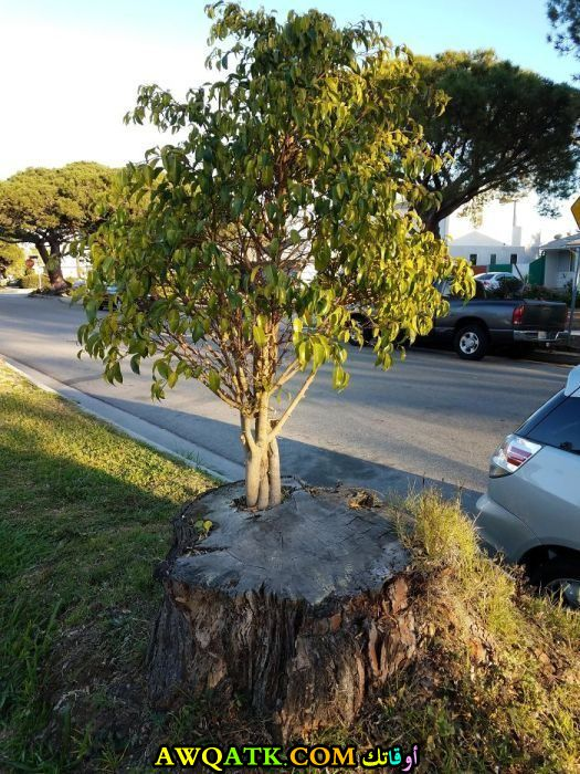 شجرة تنمو على شجرة