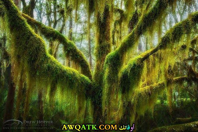 شجرة خشب الزان الغريبة في ولاية أوريجون