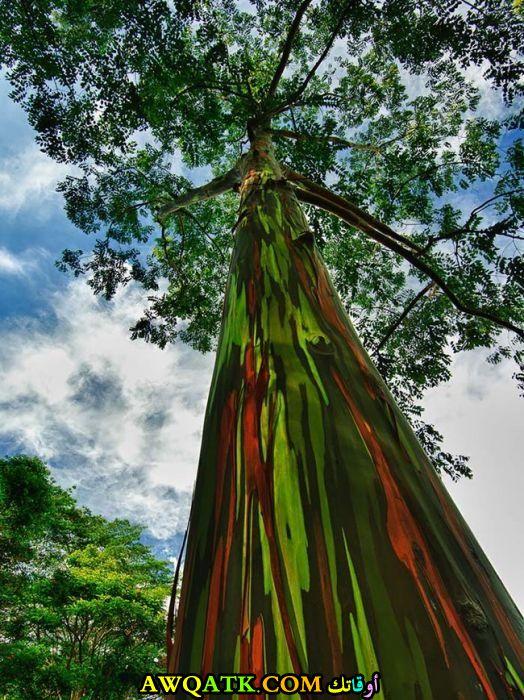 شجرة قوس قزح ذات الألوان المتعددة