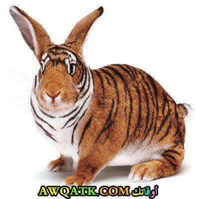 نمر أم أرنب