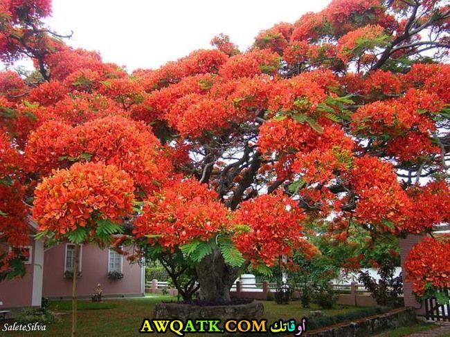 الشجرة المتوهجة في مدغشقر