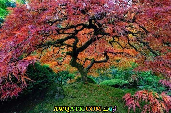 شجرة خشب القيقب اليابانية بولاية أوريجون
