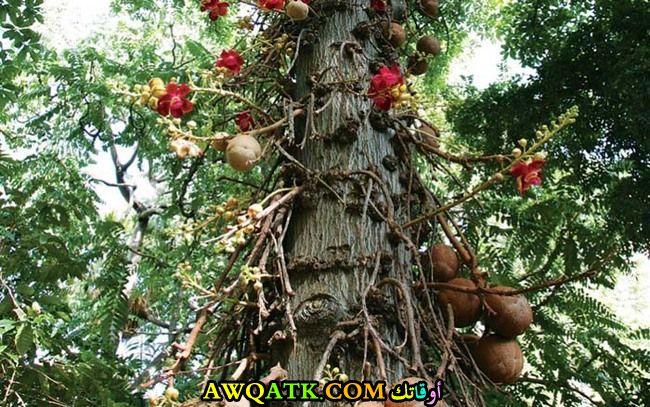 شجرة المدفع تنمو فيها الثمار بشكل غير معتاد