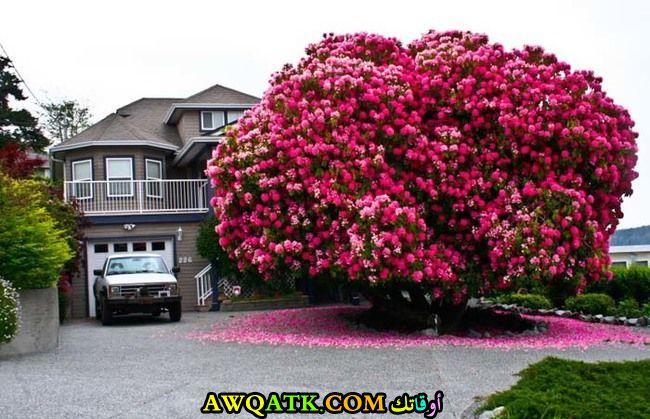 شجرة في كندا عمرها أكثر من 125 عام ولا تزال في قمة الجمال