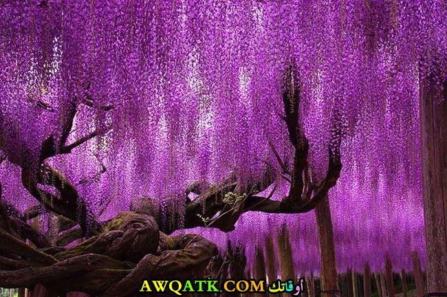 شجرة الوستاريا في اليابان عمرها 144 عام ومن أضخم أشجار العالم