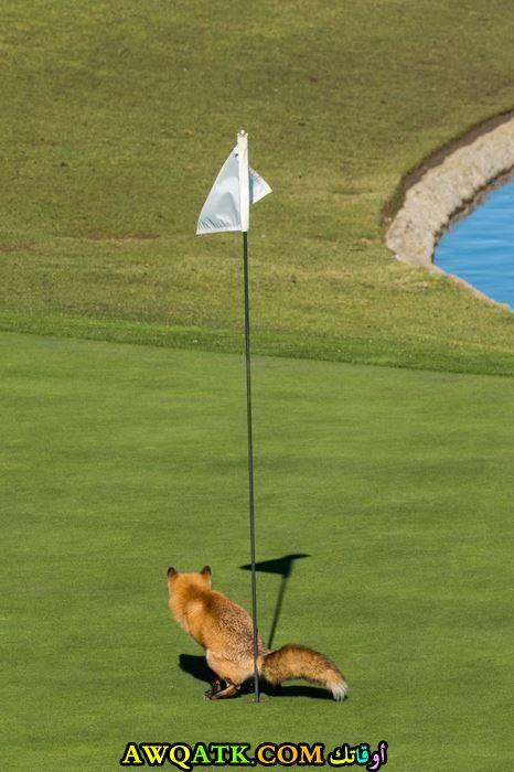 بيلعب جولف